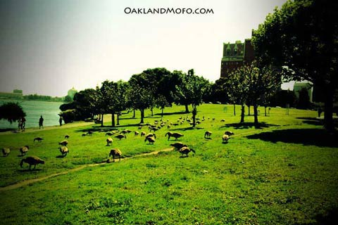 canadian geese hanging out at lake merritt