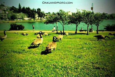canadian geese around the lake